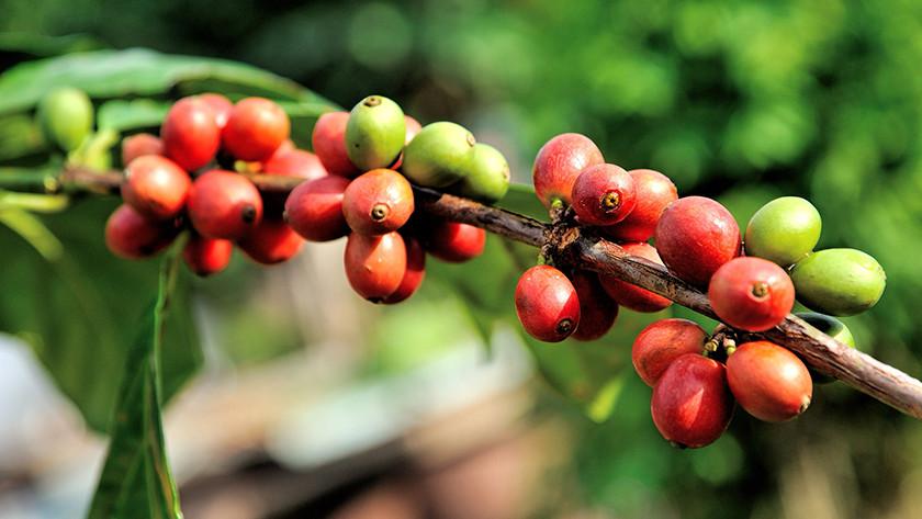 Arabica bean origin