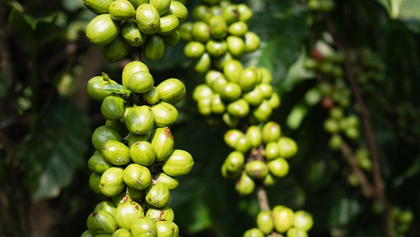 Robusta bean origin